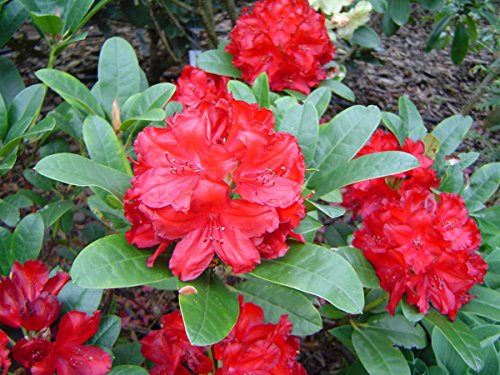 rhododendron-combo-pack-lisetta-evening-embers-childs-play-first-year-plants-three-live-plants