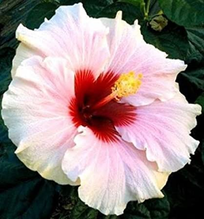 Plantsworld Hibiscus Dwarf White Mix Jumbo Live Plant Amazonin