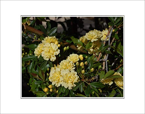Frame Bush (8x10 Photo Print with White Matting, Signed (fits 11x14 Picture Frame) – Southwestern US Series Mini Yellow Rose Bush Flower Cluster Nevada)