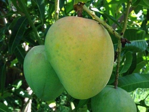 Mango Tree (Alphonso Variety) by bluestargarden168