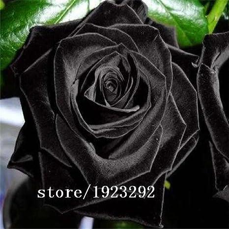 Grande Vendita Porcellana Rare Semi Di Fiore Della Rosa Nera 100pcs