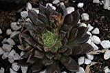 Echeveria Black Prince Succulent CHOICE-Leaf/Rosette cuttings, Pre-wired,Plants