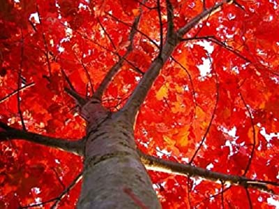 6 SCARLET OAK TREE Quercus Seeds Drought Native Red Fall Acorns *Flat Shipping