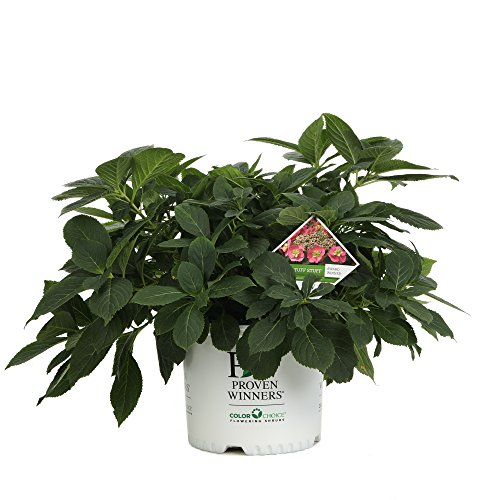Tuff Stuff Reblooming (Mountain Hydrangea) Live Shrub, Blue, Pink, and Purple Flowers, 3 Gallon