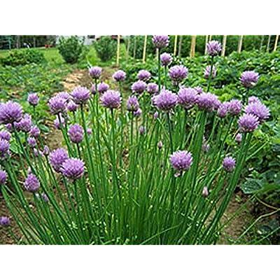 AchmadAnam - Live - Perennial, Allium schoenoprasum, Chives, Onion Grass, Шнитт-лук. E3 : Garden & Outdoor