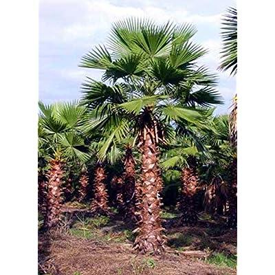 Fresh Cheap Trees Seeds Mexican Fan Palm Get 100 Seeds Easy Grow #FAY01YN : Garden & Outdoor