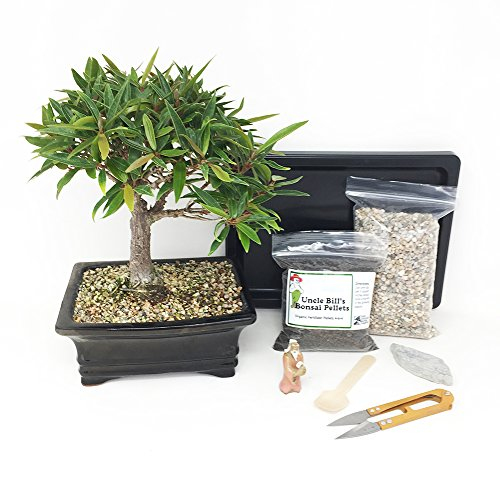 Willow Leaf Ficus Bonsai Tree Beginner Kit Includes Potted Tree, Japanese Humidity Tray, River Rocks, Organic Bonsai Food, Mini Clippers, Rock, Fertilizer Spoon, Mudman Figurine