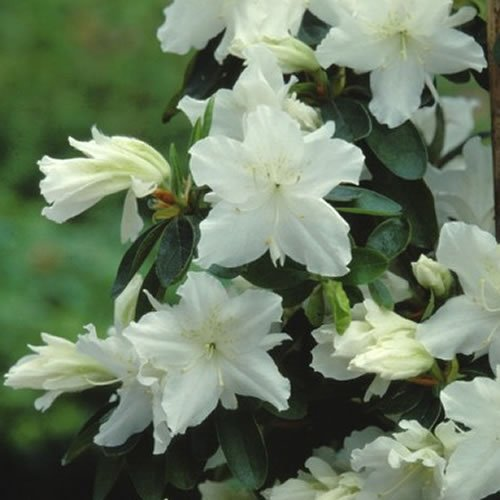 1 X AZALEA 'GEISHA WHITE' JAPANESE EVERGREEN SHRUB HARDY PLANT IN POT Gardener's Dream