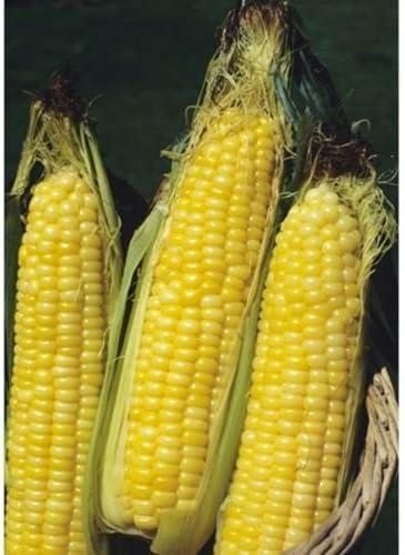 50 Bodacious Hybrid Corn Seeds Vegetable Seeds