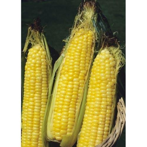 1000 Seeds Bodacious Yellow Sweet Corn - Non-GMO