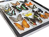 Luxury Frame Display Real 14 Butterflies Collection