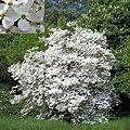 FLOWERING DOGWOOD CORNUS FLORIDA 10 seeds by Tropical Oasis