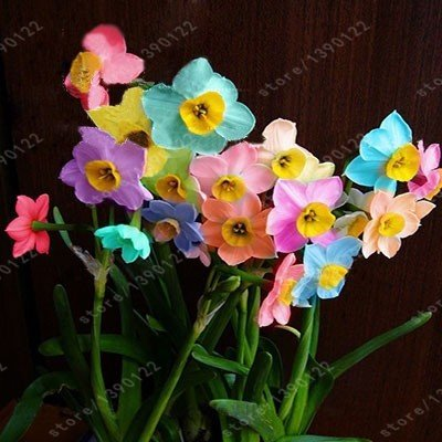 100pcs flower daffodil,rainbow daffodil seeds(not daffodil bulbs)bonsai flower seeds aquatic plant double petals for home garden SVI
