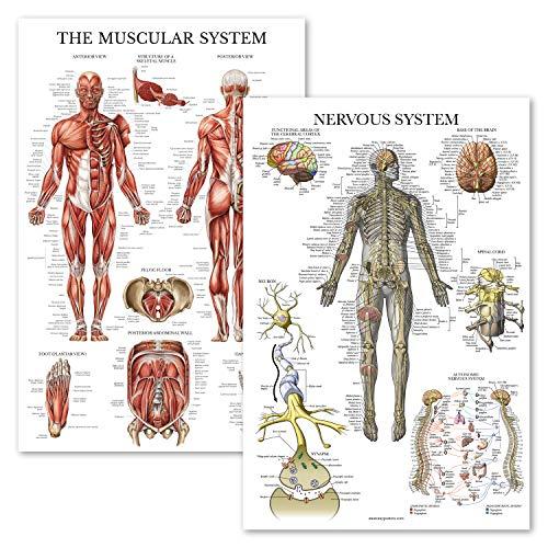 [해외]2 팩 - 근육 시스템 및 신경 시스템 해부학 포스터 - 해부학 차트 2개 세트 - 근육솜털 - 라미네이트 46cm x 69cm / 2 팩 - 근육 시스템 및 신경 시스템 해부학 포스터 - 해부학 차트 2개 세트 - 근육솜털 - 라미네이트 46cm x 69cm