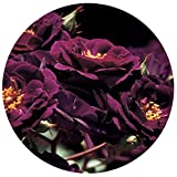 """Midnight Blue Rose Bush Reblooming Purple Fragrant Rose Grown Organic 4"""" Potted - Own Root Easy To Grow"""