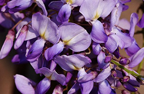 Blauregen Chinesischer Edelblauregen Prolific Wisteria sinensis ...