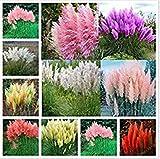 200 Seeds Pampas Grass G2, Mixed Colors Purple, Pink, Cream, Orange Cream White