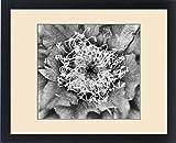 Framed Print of North America, USA, Utah. Black and white image of flowering Whipples Fishhook
