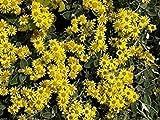 Brachyglottis (Senecio) Sunshine - Daisy Bush, Plant in 9cm Pot