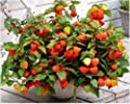 GOLDENBERRY, physalis peruviana Cape Gooseberry peruvian groundcherry -25 SEEDS