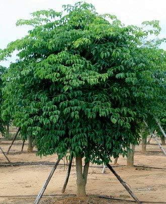 Heteropanax Plantes en Pot Bonsa/Ã/¯ Bonsa/Ã/¯ d/â/€/™Arbre pour la Maison /& amp; Jardin 50 Pi/ã/¨Ces//Lot Pinkdose Arbre /Ã/ Feuilles persistantes Chine Bonsa/Ã/¯ Woody Plante Vivace