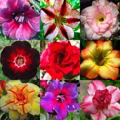 Desert Rose Adenium Obesum Bonsai Mixed Colors 10 Seeds