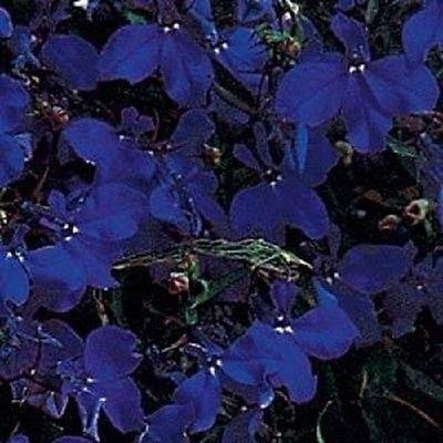 50 Multi Pelleted Lobelia Seeds Regatta Midnight Blue Seeds Trailing Lobelia