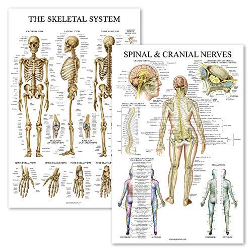 2 Pack – Skeletal System & Spinal Nerves Anatomy Posters – Set of 2 Anatomical Charts – Skeleton/Dermatomes – Laminated 18″ x 27″