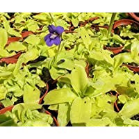 Portal Cool Paquete de semillas: Pinguicula grandiflora - 15 Semillas - Planta carnívora Butterwort