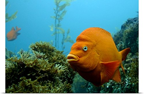 Poster Print entitled Southern Californias signature fish Garibaldi is common sight at Anacapa Island. (Garibaldi Fish)