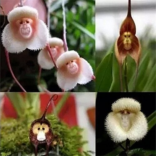 10PCS Rare Monkey Face Orchid Seeds Beautiful Plant Flower Seed Home Garden