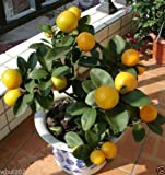 Indian Sweet Lime, Palestinian Lime, Lima Dulce,(5 Seed) grow indoor or outdoor