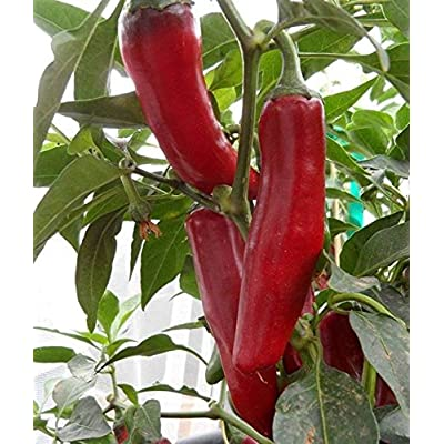 14+ Rare Premium Szegedi 179 Hungarian Paprika Pepper Seeds Hand Selected-D 109 : Garden & Outdoor