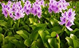 Water Hyacinths Floating Water Garden Plants (12 live plants) (12)
