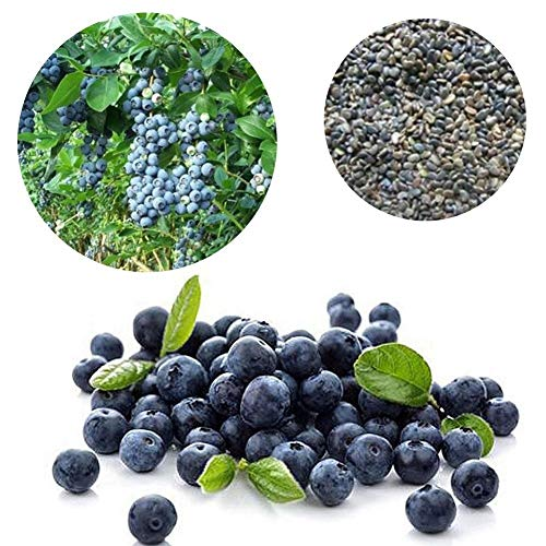 (Blueberry Seeds Easy for Planting Potted Bonsai Sweet Fruit Bush Home Garden DIY Indoor Outdoor Plants)
