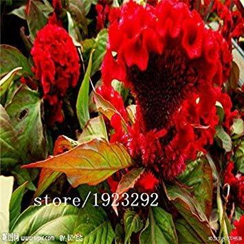 VISTARIC semillas de marihuana Violeta planta de flor en flor cubierta de frutas flores balcón 10 semillas: Amarillo
