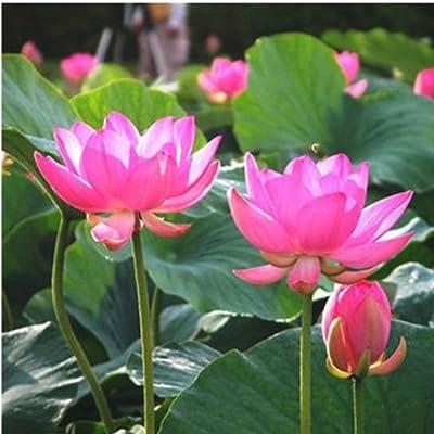 10Pcs Red Bowel Lotus Seeds : Garden & Outdoor