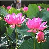 Cheap 10Pcs Red Bowel Lotus Seeds