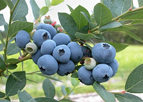 1 Starter Plant of Blueberry Plant Vaccinium Blue Ray High Bush Live Plant by Andryani (Image #2)