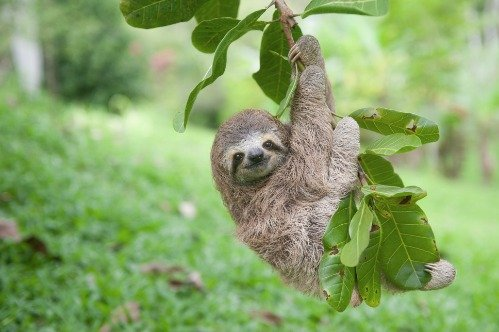 Sloth Hanging Out Glossy Poster Picture Photo Cute Funny Cool Tree Animal -
