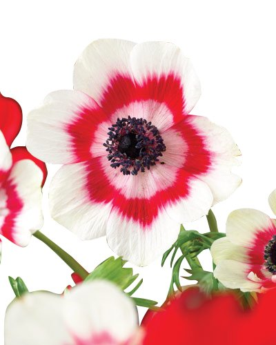 10 Bi-Color - TOP Size 7/8 - Single Monarch de Caen Anemone