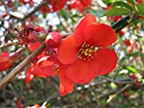 Spitfire Flowering Quince - Chaenomeles - Perenial - Healthy Established Roots - 4'' Pots - 3 Plants by Growers Solutiion