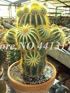Pinkdose Semillas De Flores 500 Pz/borsa Mini Cactus Succulente Bonsai In vaso Indoor Cactus Pianta Perenne Ornamenti da giardino: 15