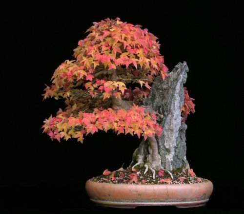 Trident Maple, Acer buergerianum, Tree Seeds (Fall Color, Hardy, Bonsai) 30