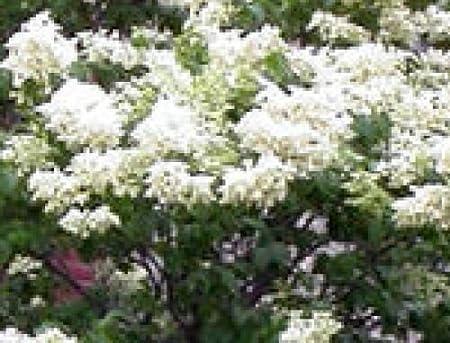 Amazon Com Japanese Tree Lilac Seedling Creamy White Flowers