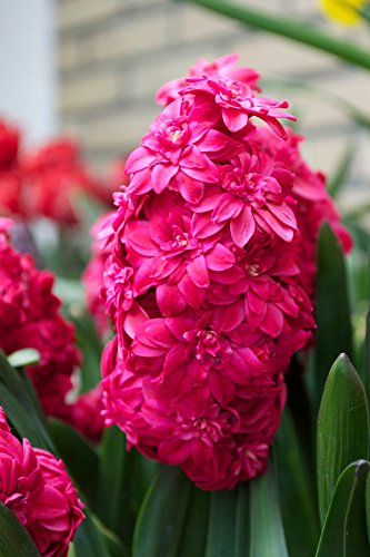 (Hyacinth- Hollyhock (10 bulbs). double florets of deep pink almost red fragrant blooms)