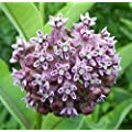 Common Milkweed Native Seeds Asclepias Syriaca Pack Of 100 Seeds By Seeds2go