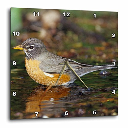 3dRose Danita Delimont - Robin - American Robin bathing, Tower Grove Park, St. Louis MO - 13x13 Wall Clock - Mo Outlet St Louis