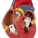 Axis Scientific Heart Model, 2-Part Deluxe Life