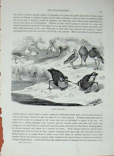 Cassell'S Birds C1870 Ruffs Fighting Stilt-Walkers Bird